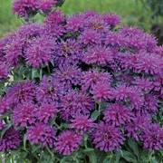 Sugar Buzz® 'Grape Gumball' Bee Balm image