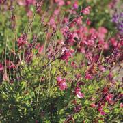 Arctic Blaze® Fuchsia Salvia