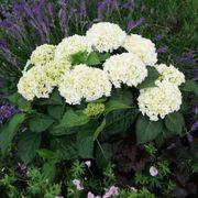 Hydrangea Everlasting® Bride Thumb