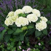 Hydrangea Everlasting® Bride image