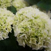 Hydrangea Everlasting® Bride Alternate Image 1
