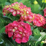 Hydrangea Magical® Ruby Red Alternate Image 1