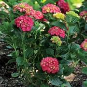 Hydrangea Magical® Ruby Red Alternate Image 2