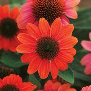 Echinacea Sombrero® Hot Coral