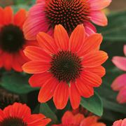 Sombrero® Hot Coral Coneflower