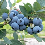 Sweetheart Blueberry image