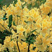 Lemon Lights Rhododendron