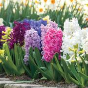 Hyacinth Border Mix (pack of 10) image