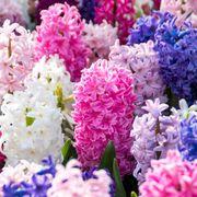 Hyacinth Border Mix (pack of 10) Alternate Image 1