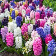 Hyacinth Border Mix (pack of 10) Alternate Image 2