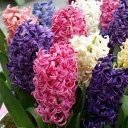 Hyacinth Border Mix (pack of 10) Alternate Image 3