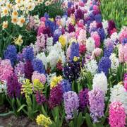Hyacinth Border Mix (pack of 10) Alternate Image 4