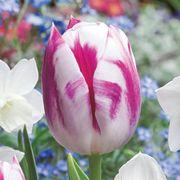 Tulip Daffodil Butterfly Kisses Blend Alternate Image 1