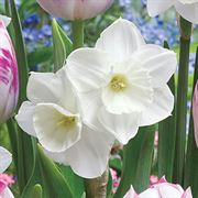 Tulip Daffodil Butterfly Kisses Blend Alternate Image 2