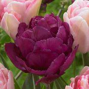 Tulip Ballroom Blossoms Mix Alternate Image 2