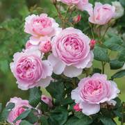 The Ancient Mariner Rose