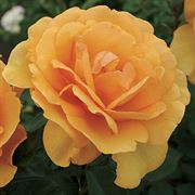 South Africa™ Sunbelt® Grandiflora