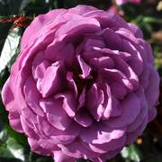 Plum Perfect Sunbelt® Floribunda Rose Alternate Image 1