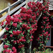 Blaze Improved Climbing Rose Thumb