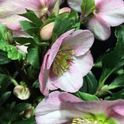 Madame Lemonnier Lenten Rose