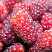 Loganberry image