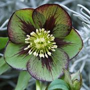 Winter Jewels Jade Star Lenten Rose
