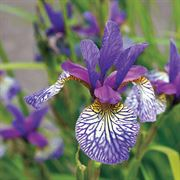 Siberian Iris Shakers Prayer Siberian Iris