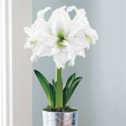 Single Grand Trumpet® Double Ruffle White Amaryllis