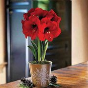 Single Grand Trumpet® Red Amaryllis in Snowflake Container