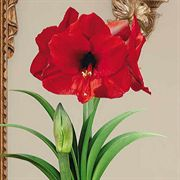 Single Giant Red Amaryllis
