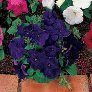 Celebrity Blue Petunia Flower Seeds