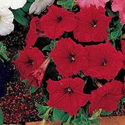 Celebrity Red Petunia Flower Seeds