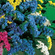 Soiree Light Blue Statice Flower Seeds