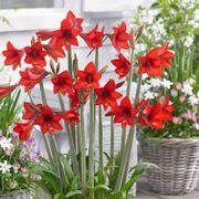 Sonatini® Red Rascal Amaryllis image