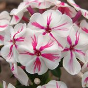 Phlox Paniculata 'Twister' image
