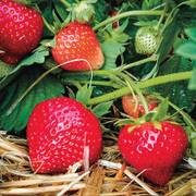 Eclair Strawberry Plants image