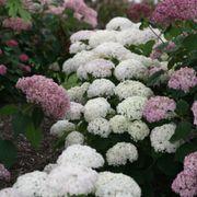 Invincibelle Wee White® Hydrangea Alternate Image 1