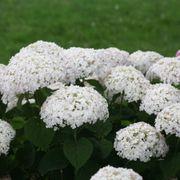 Invincibelle Wee White® Hydrangea Alternate Image 3