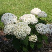 Invincibelle Wee White® Hydrangea Alternate Image 4
