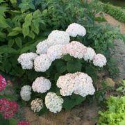 Invincibelle Wee White® Hydrangea Alternate Image 5