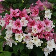 Czechmark Trilogy™ Weigela
