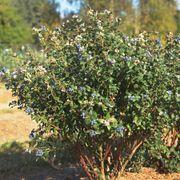 Bushel and Berry® Blueberry Perpetua Alternate Image 3