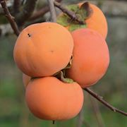 Early Fuyu Persimmon Tree