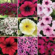 Petunia Wave Collection image