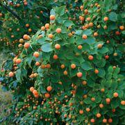 Mandarin Jewel Dogwood