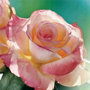 Elegant Lady 36-inch Tree Rose