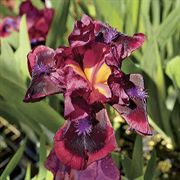 Cats Eye Dwarf Bearded Iris