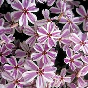 Candy Stripe Creeping Phlox