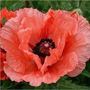 Double Pleasure Papaver orientale Plant