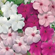 Sunny Lady Pastel Mix Impatiens Seeds